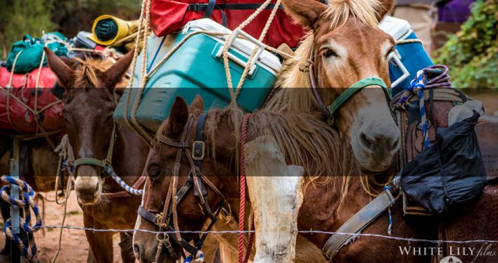 HAVASUPAI Tribe Under Fire for Horrific Abuse of Horses, Donkeys, Mules